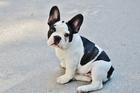 Foto cucciolo - bulldog francese