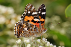 Foto farfalla - painted lady australiana
