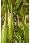Foto larva di farfalla