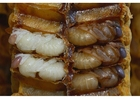 Foto le larve delle api
