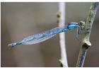 Foto libellula