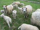 Foto pecore con agnellini