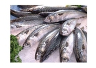 Foto pesce - sgombro