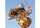 Foto Ragno mangia vespa
