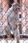 Foto scimmia in cattività