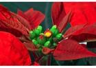 Foto stella di Natale 2