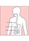 immagine digestione
