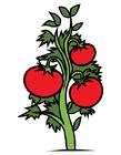 immagine pianta di pomodori