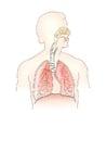 immagine sistema respiratorio